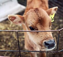 Calf in Wired Fence by Megan Schatzman