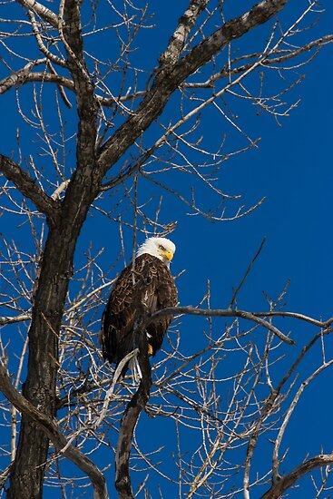 American Bald Eagle 3 by Thomas Young