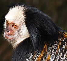 White-headed marmoset by gruntpig
