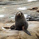 Fur Seal at Shag Point by 29Breizh33