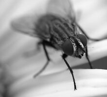 Fly 1 B&W by photonista