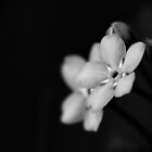 Forget-Me-Nots 10 B&amp;W by photonista