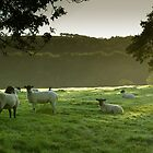 Early morning Dales sheep by James Elkington