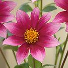 pretty in pink dahlia by Tamara Bush