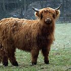 highland cow by Martynb