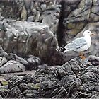 Seagull of Yamba by ZiyaEris