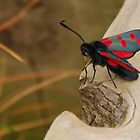 Five-spot Burnet Moth by mcstory