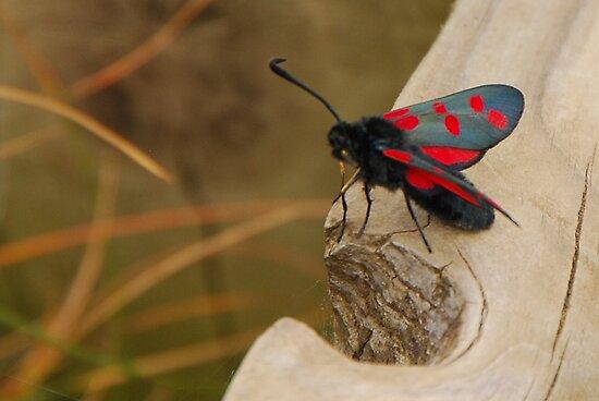 Five-spot Burnet Moth by mcstory