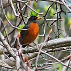 American Robin Perched on Twigs by Darrick Kuykendall