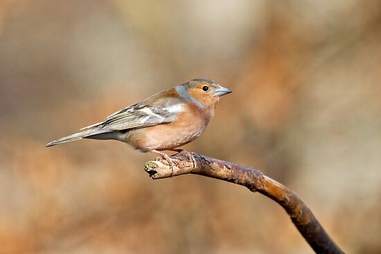 Chaffinch in woods by Margaret S Sweeny