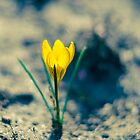 Yellow crocus by Kanelov