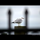Larus Delawarensis - Wrought Iron Gate View Of An Ring-Billed Gull - Port Jefferson, New York  by  Sophie Smith