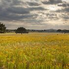 Golden Texas Wildflowers Field after Sunrise by RobGreebonPhoto