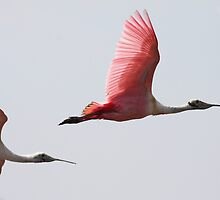 Spoonbills in Flight by Carol Bailey White