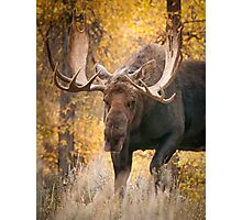Bull Moose in the Aspens Photographic Print