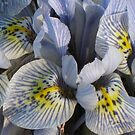 Iris reticulata by Kelly Morris