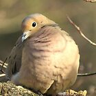 Mourning Dove ~ A Little Butterball by SummerJade