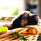 Sleeping puppy by Giambra