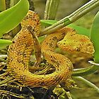 Eyelash viper  by scott staley