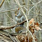Gray Squirrel - Sciurus carolinensis by MotherNature