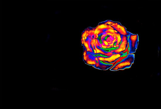 A Rose Grown On the Planet Zorg by heatherfriedman