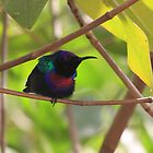 The Splendid Sunbird by Hovis