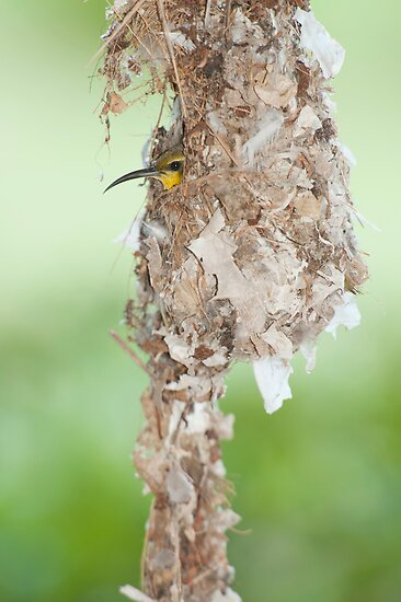 Tucked Up - sunbird nesting in far north Queensland by Jenny Dean