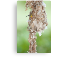 Tucked Up - sunbird nesting in far north Queensland Canvas Print