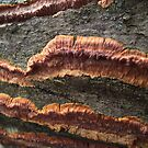 Red Fungal Stripes on Log by Deb Fedeler