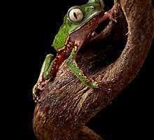 Tropical tree frog by dirkercken