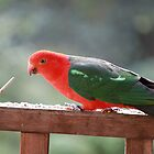 Glorious Australian King Parrot by Staffaholic