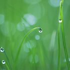 Dew drops in the spring by Crimmy