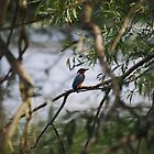 Kingfisher by the lake by Crimmy