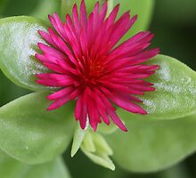 Aptenia cordifolia by Rina Greeff