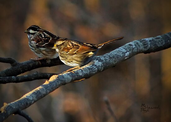 """""""White-Throated Sparrows"""" by Melinda Stewart Page"""