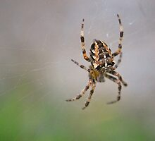 European Garden Spider by GreyFeatherPhot