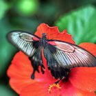 Butterfly and Red leaf by greg1701