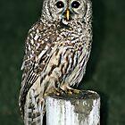 Neighborhood Owl by AngieBanta