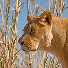Lioness by Steve Hunter