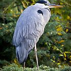 The Heron by ajwimages