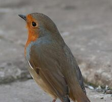 Robin by Moonlake