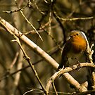Common Robin by Jennifer Standing