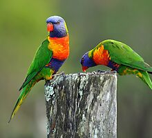 Rainbow Lorikeets. Brisbane, Queensland, Australia. (2) by Ralph de Zilva
