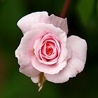 Pink Rose by Sarah Howarth | Photography