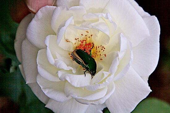 Bugs and Roses by John Butler
