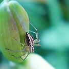 Female Lynx Spider (No.3) by mindy23
