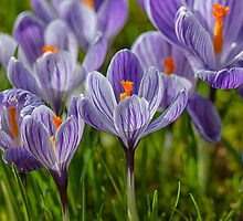 Crocuses by audah