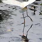 Dance of the Great Egret by Laurel Talabere