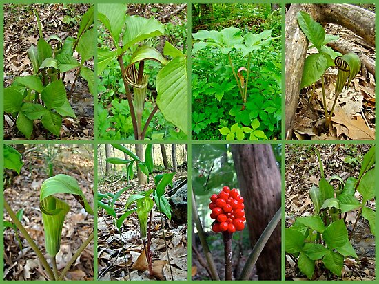 Jack-in-the-Pulpit Wildflower    Arisaema triphyllum by MotherNature
