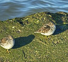 Purple Sandpipers by VoluntaryRanger